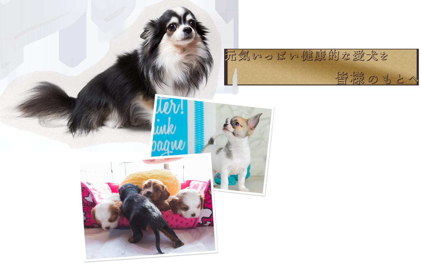 元気いっぱい健康的な愛犬を皆様のもとへ